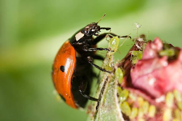 Ladybug picking up an aphid picture id147250168?b=1&k=6&m=147250168&s=612x612&w=0&h=sfh1qgs0d9 iy23yu 4lgtch9ck wkwprah145 rsoo=