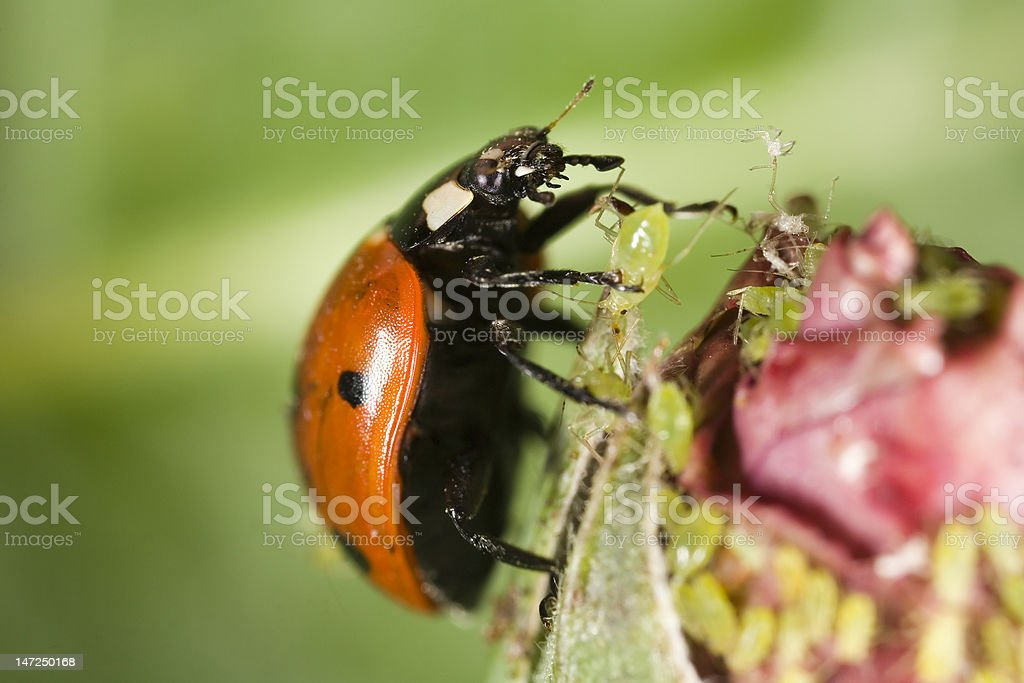 Ladybug picking up an aphid stock photo