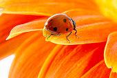 Lady bug on hemerocalis