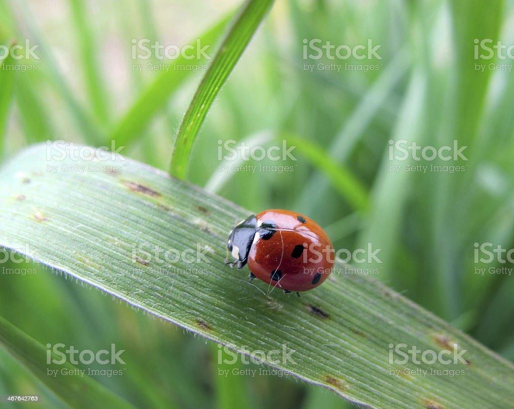 ladybug royalty-free stock photo