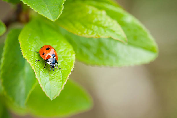 ladybug - insect stock pictures, royalty-free photos & images