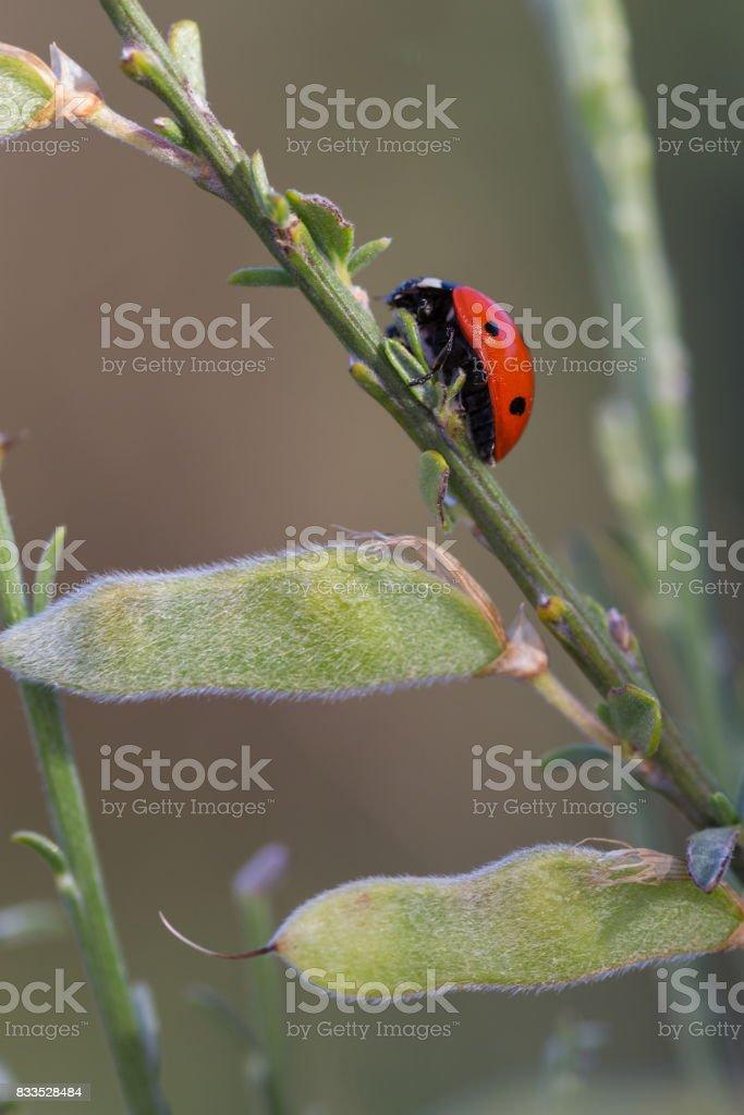 Ladybug stock photo