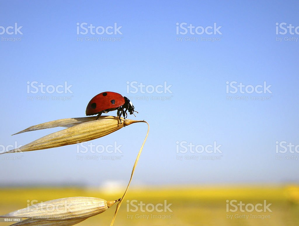 Ladybug prepares to flight royalty-free stock photo