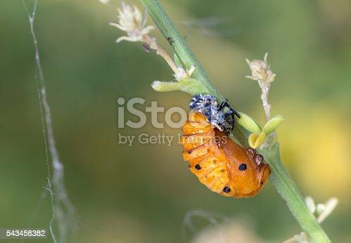 Ladybug Pupa - Harmonia axyridis - Coccinella septempunctata.