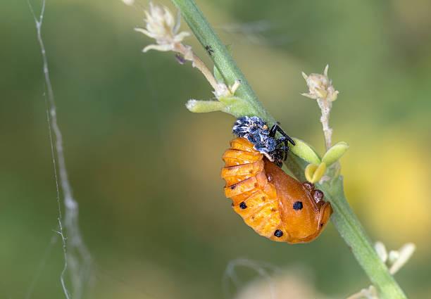 Ladybug pupa stock photo