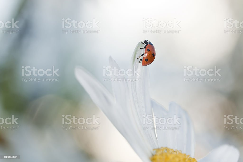 Ladybug resting on daisy, early morning sunlight and bright colors royalty-free stock photo