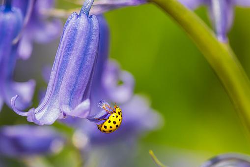 Ladybug resting on flower macro photography