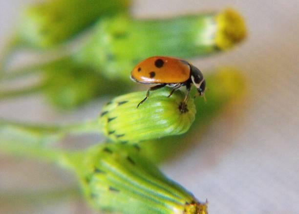 marienkäfer auf sau disteln knospen - liliana stock-fotos und bilder