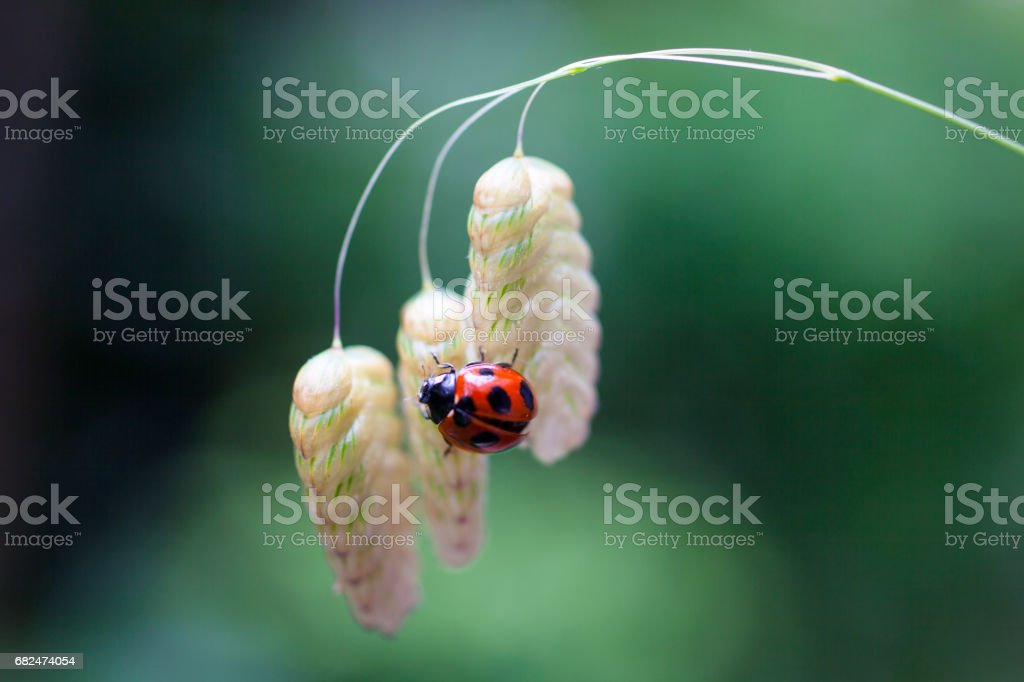 Ladybug sits on a flower royalty-free stock photo