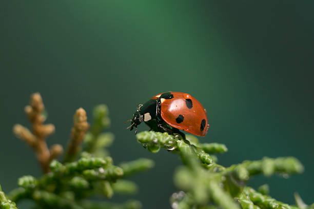 ladybug sitting down on a wet cypress branch - foto de acervo