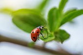Ladybug on a twig with sprouted young leaves on a green background.