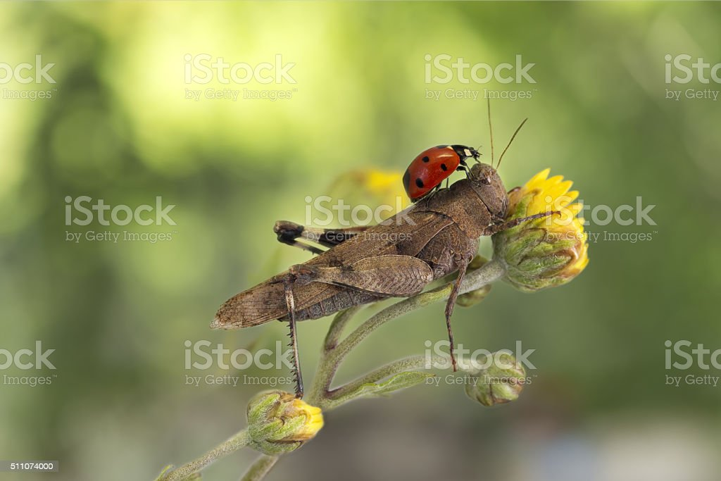 ladybug sitting on a grasshopper on green background stock photo