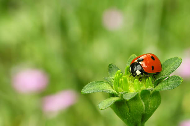 ladybug sitting on a green flower - june stock photos and pictures