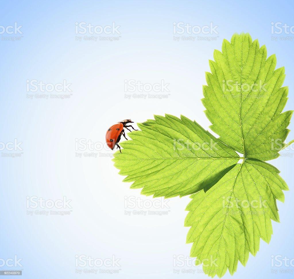 Ladybug sitting on a green leaf royalty-free stock photo