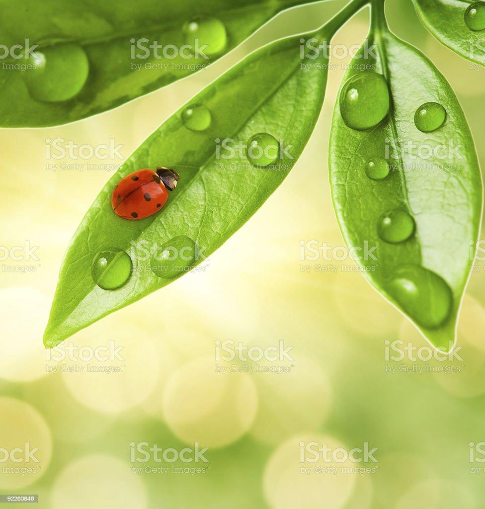 Ladybug sitting on a green leaf. royalty-free stock photo