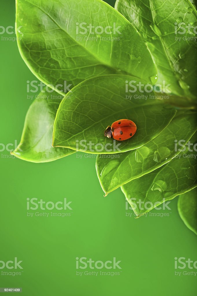 Ladybug sitting on a green leaf. royalty-free stock photo