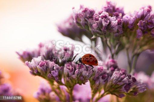 Ladybug on pink tender flowers