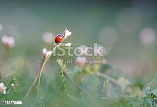 Ladybug sitting on blossom in the evening sun, macro shot of blooming meadow