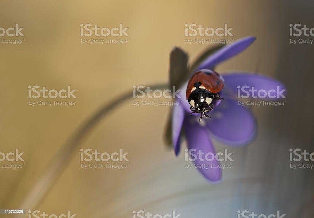 Ladybug sitting on liverleaf (Hepatica nobilis) macro photo stock photo