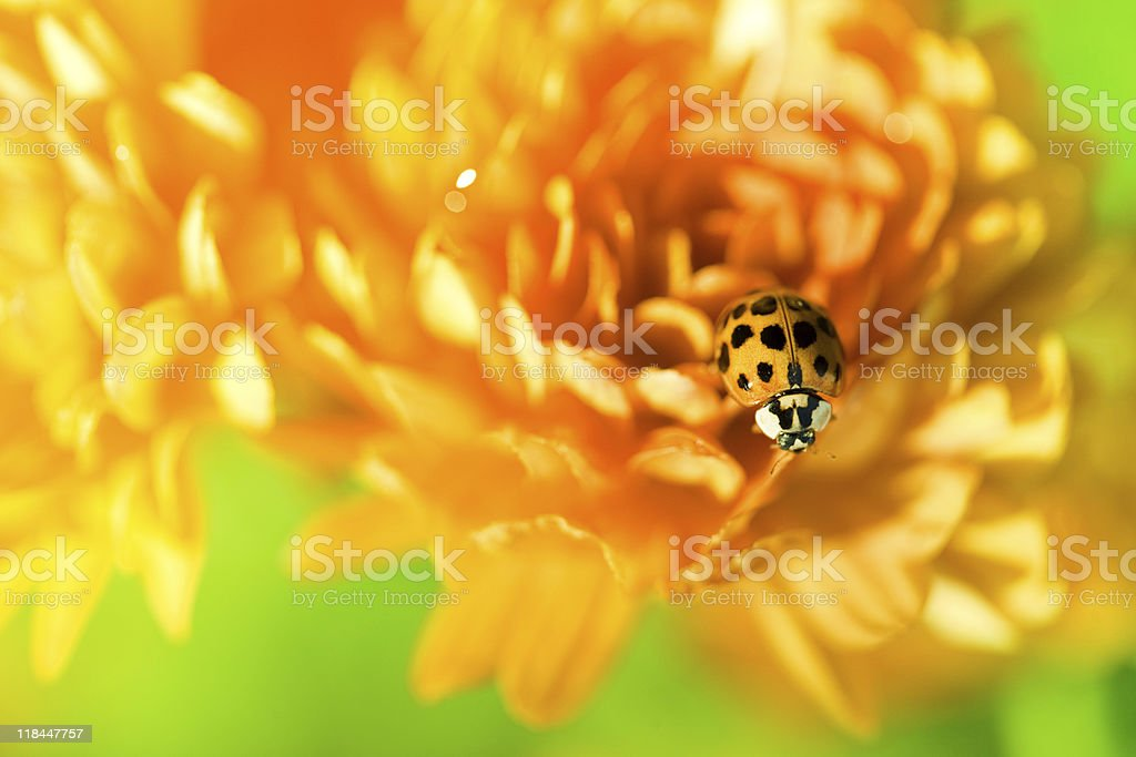 Ladybug sitting on top of orange flower royalty-free stock photo