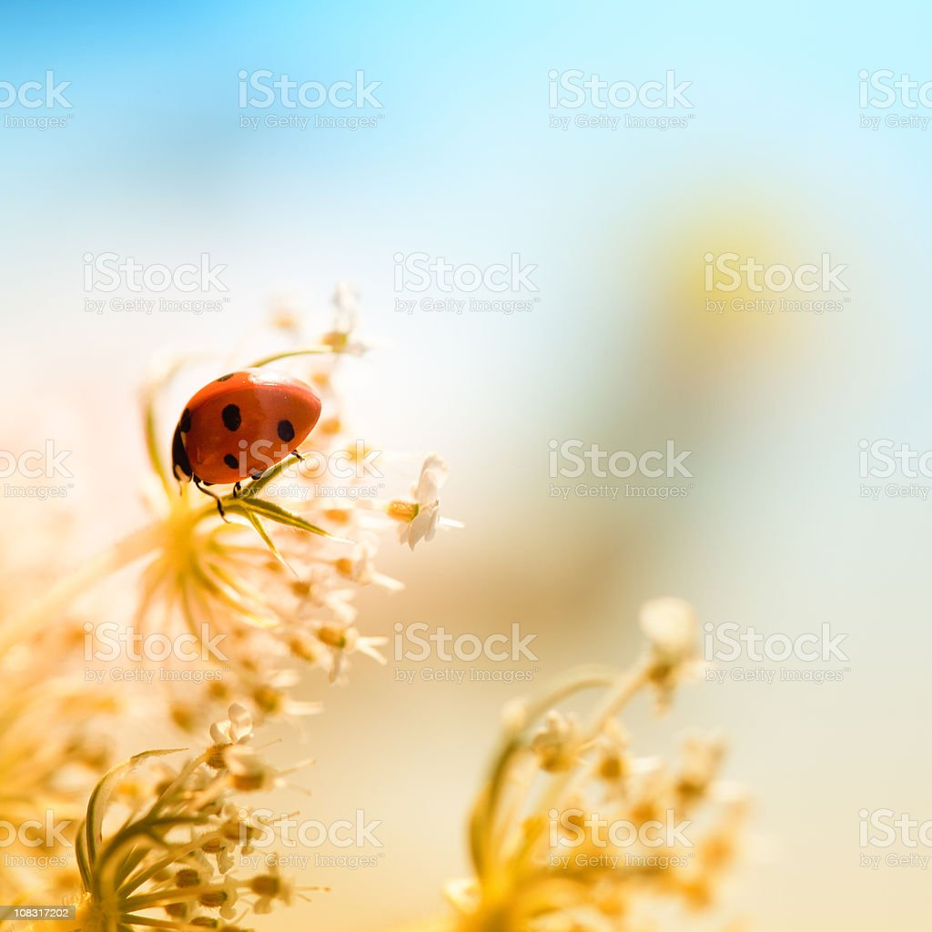 Ladybug sitting on top of wildflower during sunset royalty-free stock photo