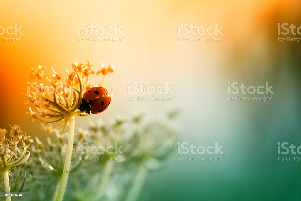 Ladybug sitting on top of wildflower during sunset stock photo