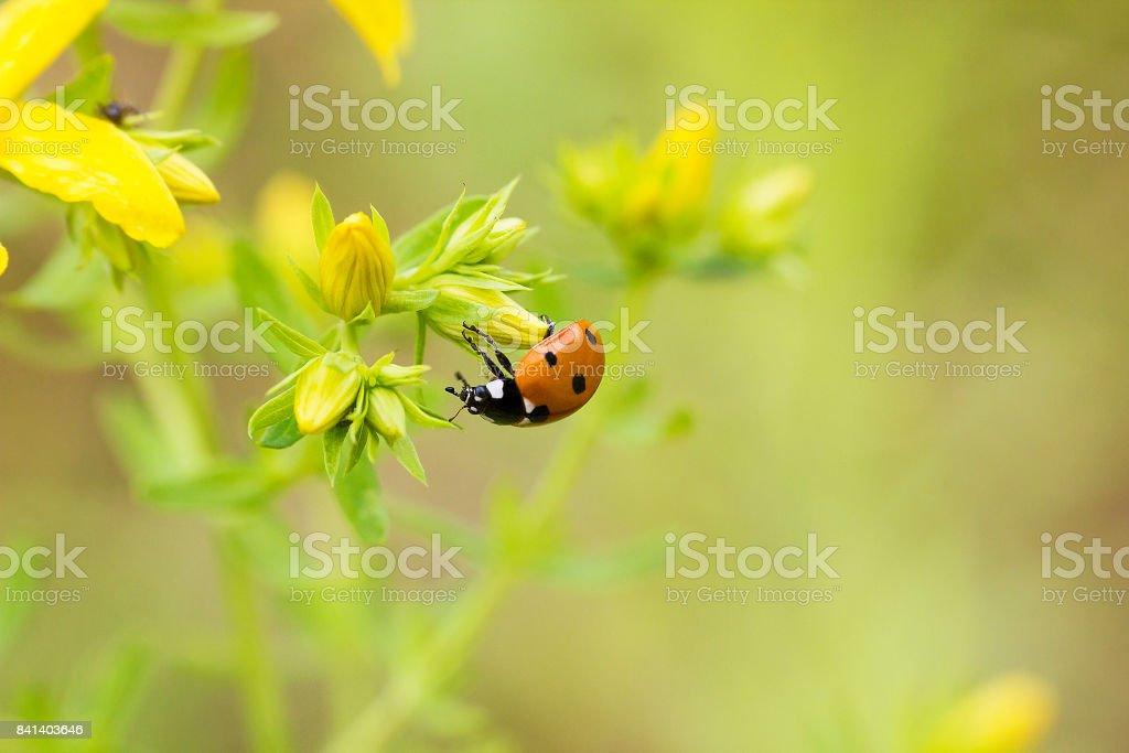 Ladybug sitting on yellow bud stock photo