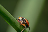 ladybug sitting/crawling on a green leaf with sunlight  as a spot light