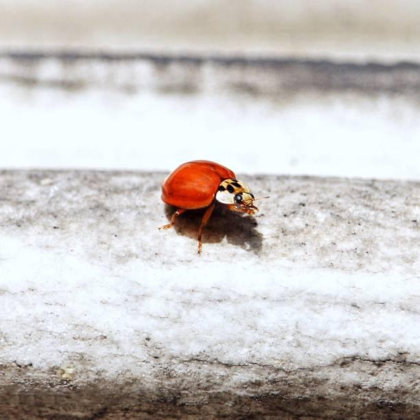 Ladybug small insect stock photo