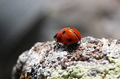 ladybug stands on the stone