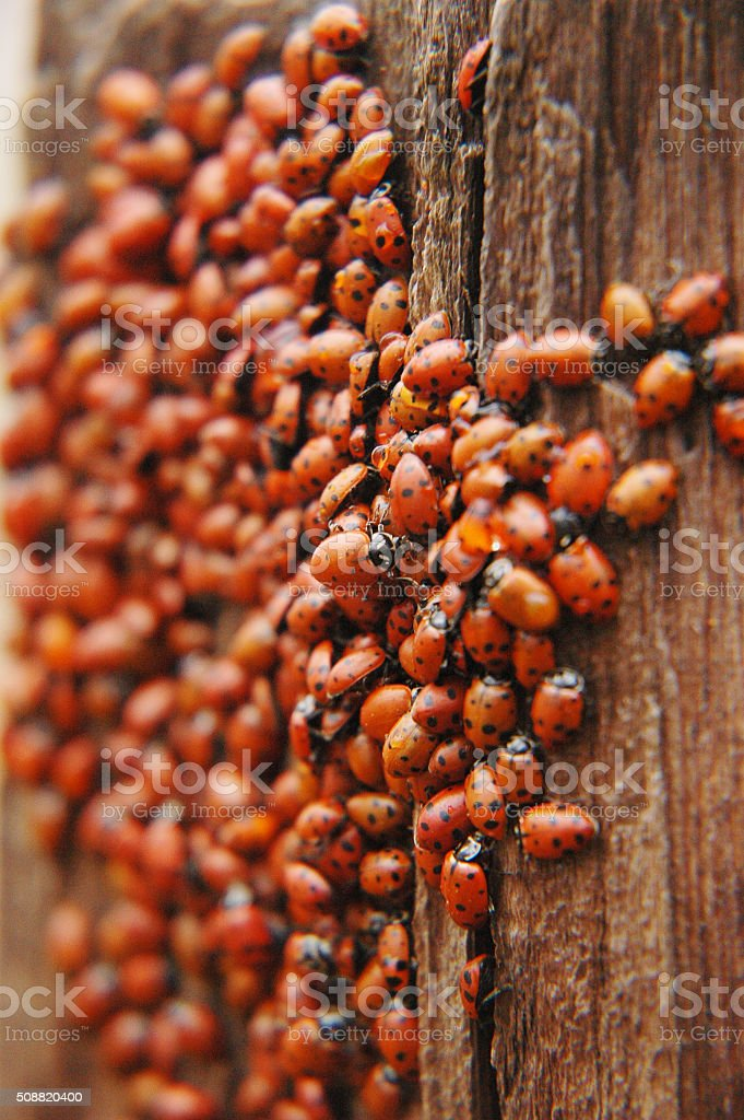ladybug swarm over the tree stock photo