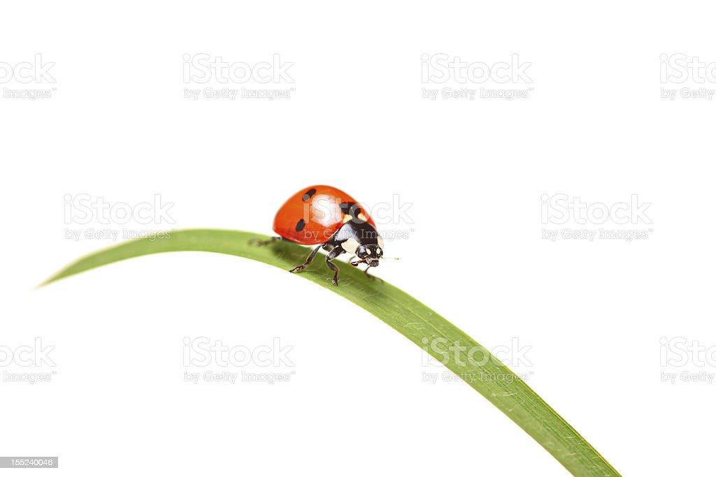 Ladybug walking on a blade of grass stock photo
