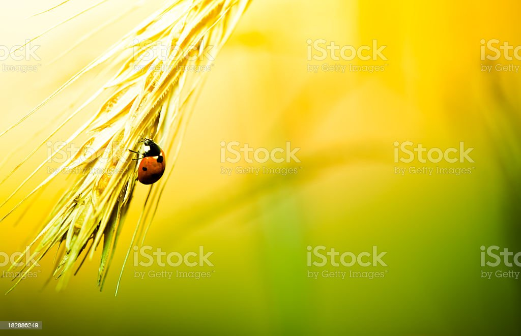 Ladybug walking on wheat during sunrise royalty-free stock photo
