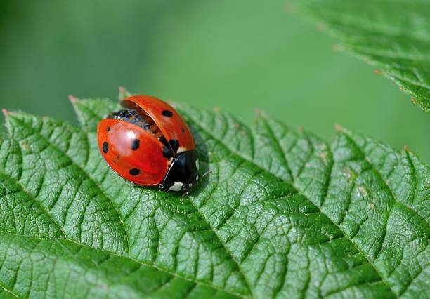 Ladybug with wings partially open Ladybug beetle with wings partially open landing on a garden leaf symbiotic relationship stock pictures, royalty-free photos & images