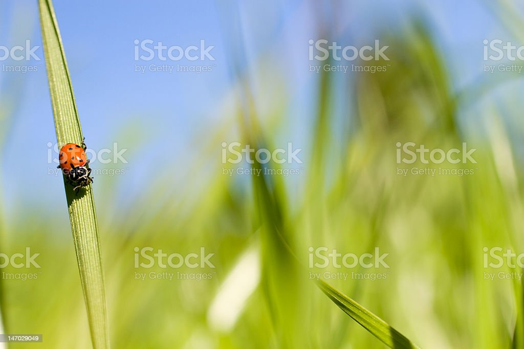 Ladybug XXL stock photo
