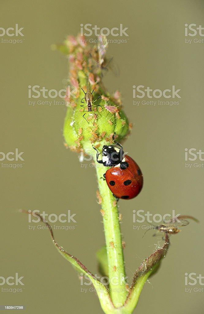 Ladybug-enemy of the aphid stock photo