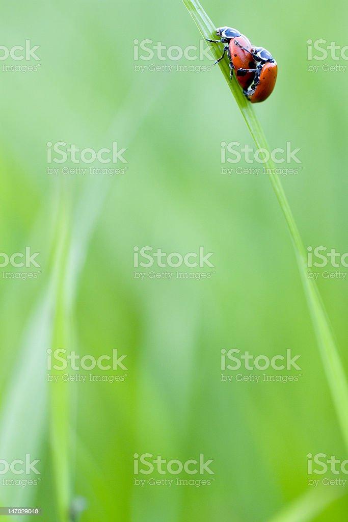 Ladybugs in Love XXL stock photo