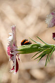 Ladybugs mating on the base of a tilted pink flower