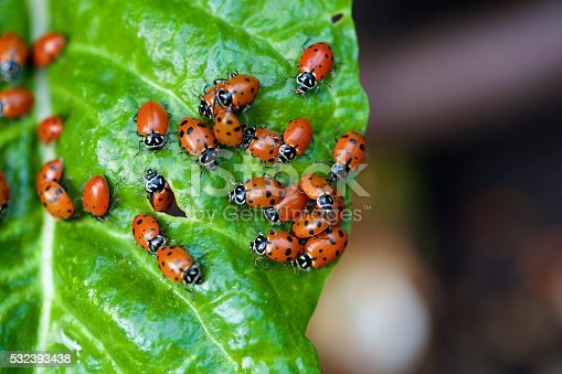 a large group of ladybugs on a chard leaf in a garden