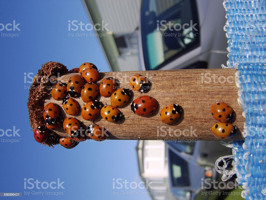 Ladybugs on a Post stock photo