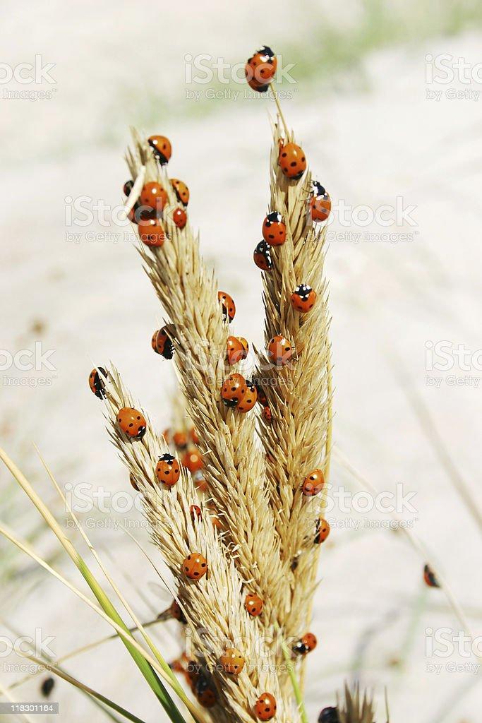 Ladybugs on dune grass royalty-free stock photo