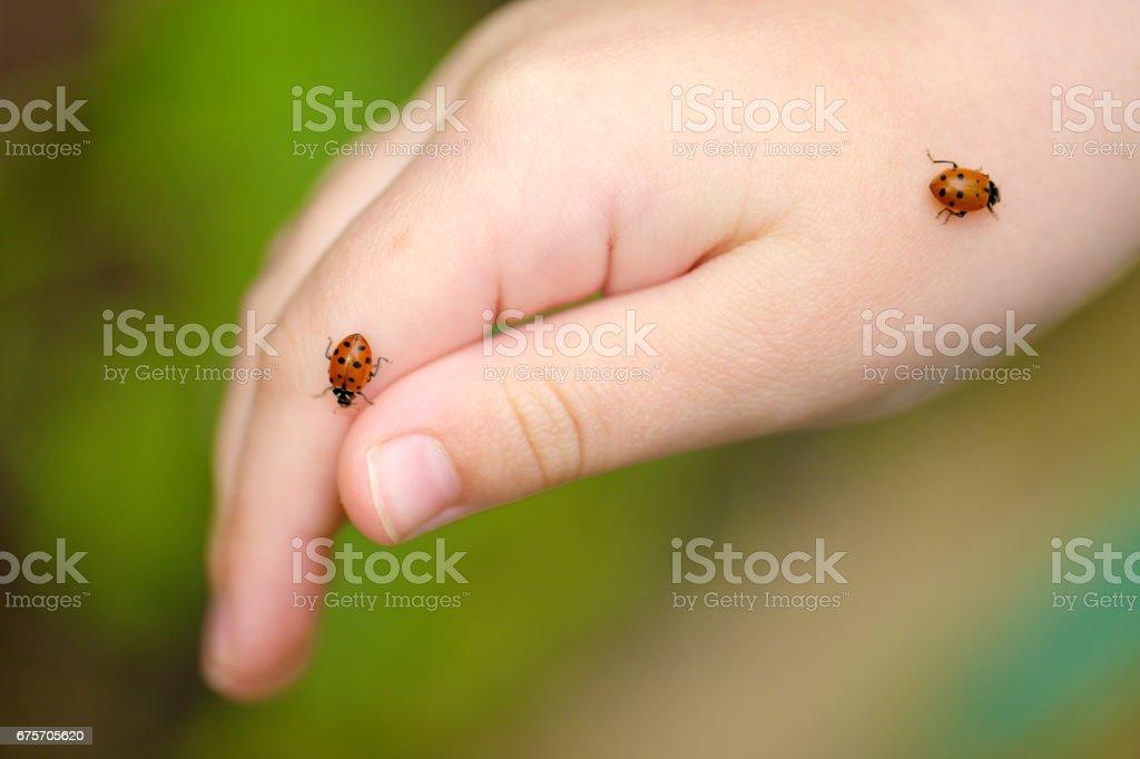 Ladybugs on young girl's hand royalty-free stock photo