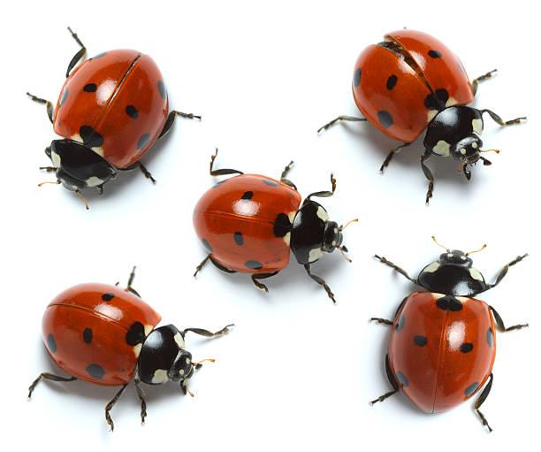 ladybugs – Foto