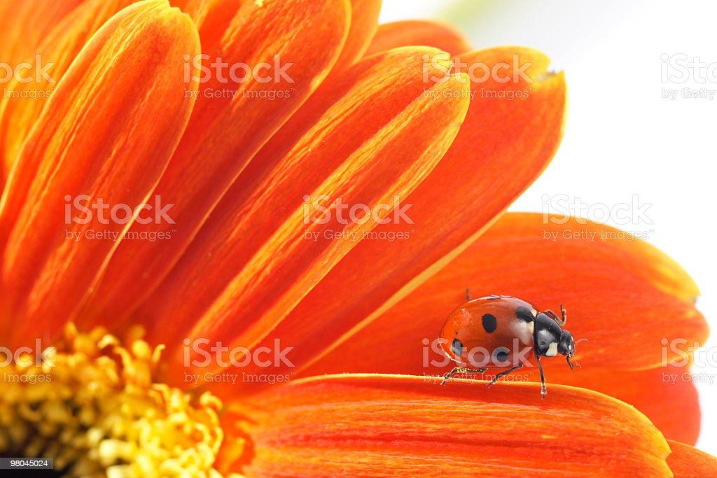 Ladybugs foto stock royalty-free