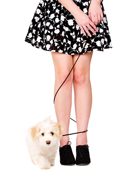 Lady's legs tangled with a puppy running on black lead stock photo
