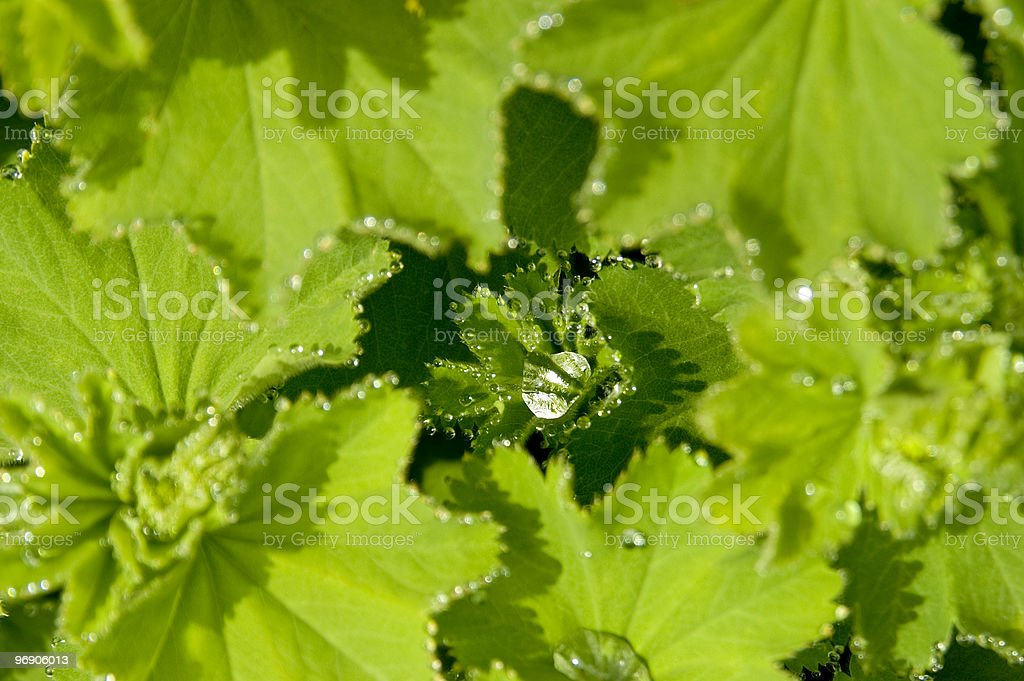 Lady's mantle 02 royalty-free stock photo