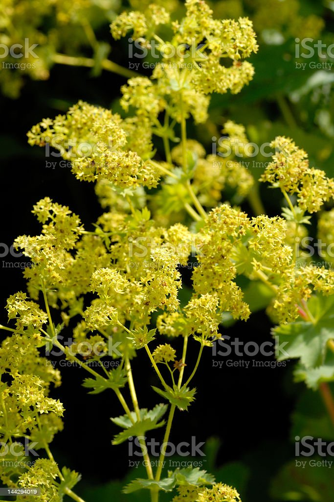 Lady's mantle blooming stock photo