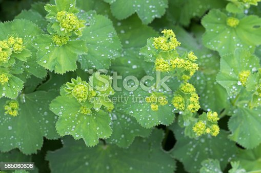 istock Lady's mantle leaves, yellow flower buds with drops of water 585060608
