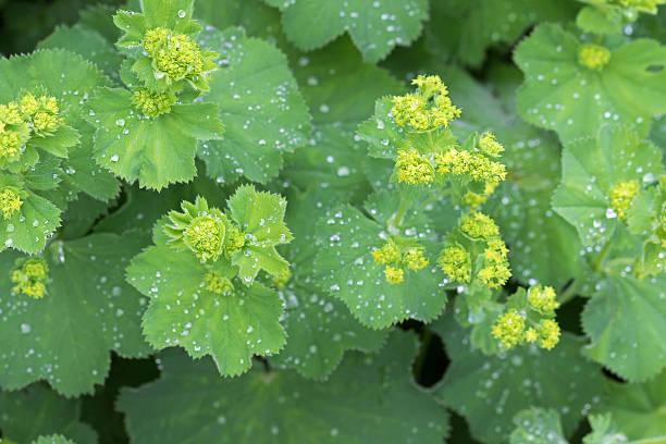 lady's mantle leaves, yellow flower buds with drops of water - przywrotnik zdjęcia i obrazy z banku zdjęć