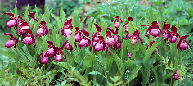 Lady's slipper flowers in a row among the green of leaves and grass. Springtime backyard.